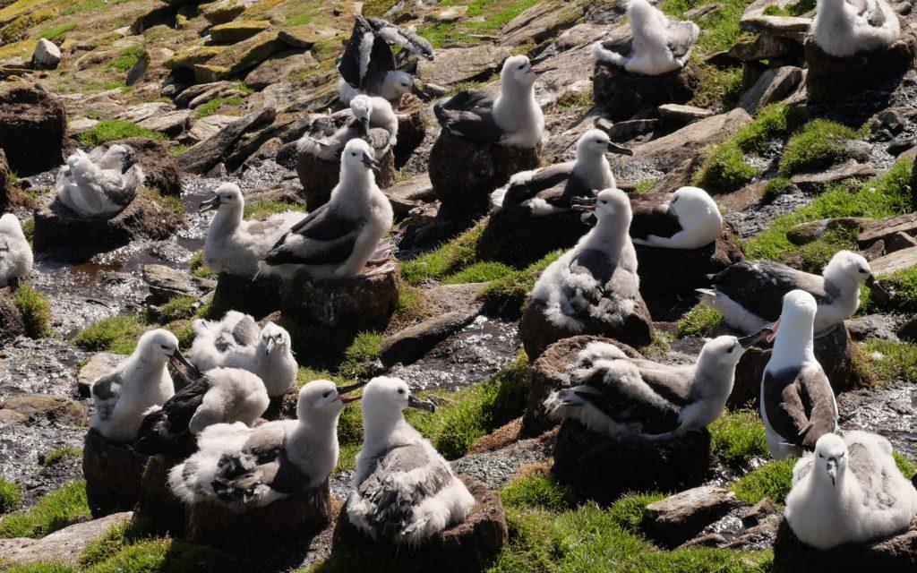 Albatrosse Falklandinseln